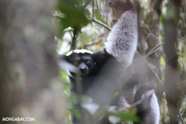 The Indri, Earth's largest lemur