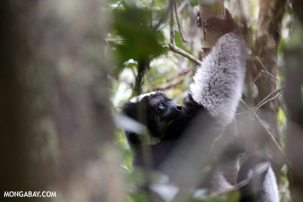 The Indri, the largest lemur