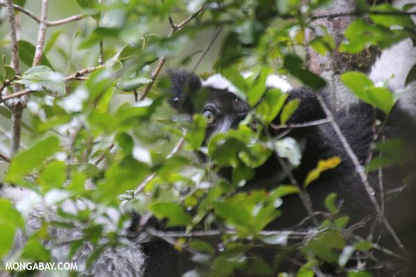 Indri lemur