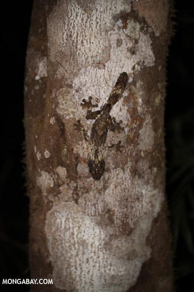 Mossy leaf-tailed gecko (Uroplatus sikorae)
