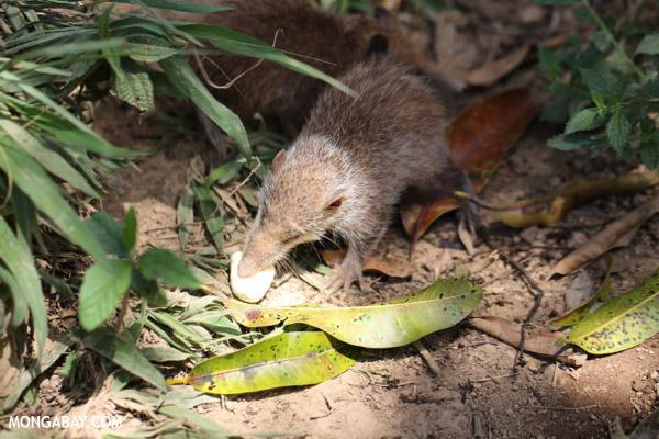 Common tenrec (Tenrec ecaudatus)