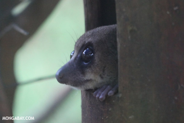 Dwarf lemur (Cheirogaleus sp)
