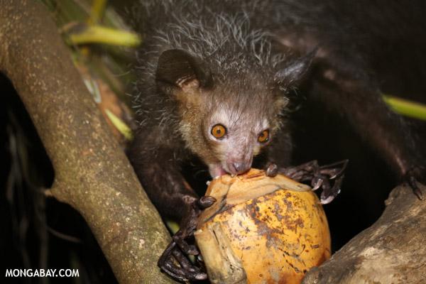The aye-aye (Daubentonia madagascariensis), listed as Near Threatened, feeding on a coconut. Photo by: Rhett A. Butler.