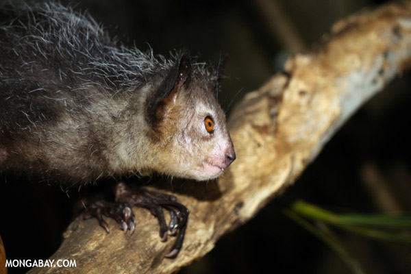 Arguably the world's most wonderfully weird lemur, the aye-aye. This species is considered Vulnerable. Photo by: Rhett A. Butler.
