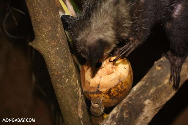 Aye-aye feeding on a coconut