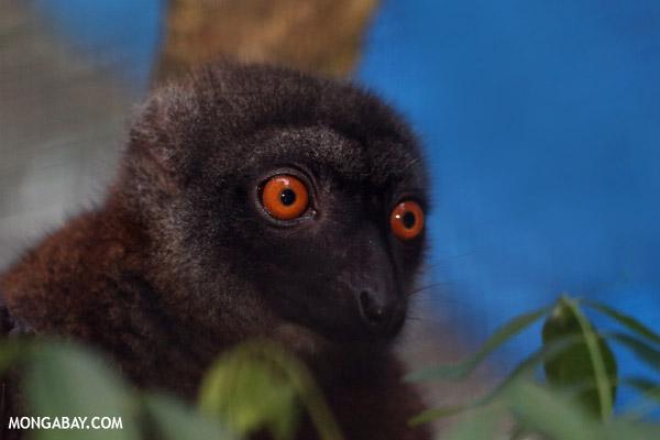 Female white-fronted lemur (Eulemur albifrons)