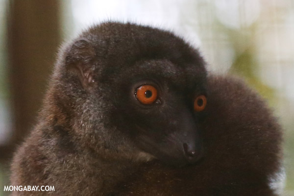 Female white-fronted brown lemur