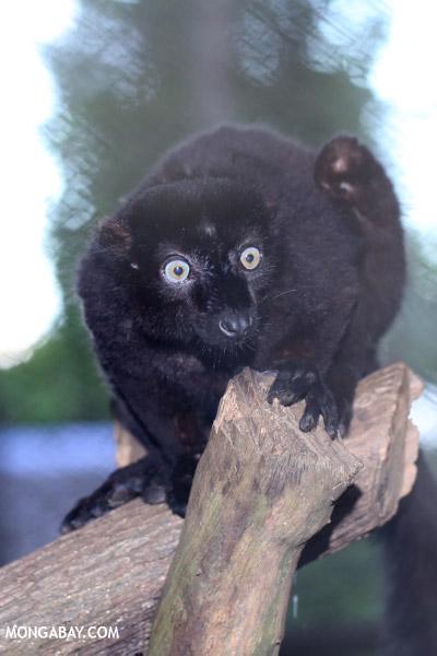 Male blue-eyed black lemur (Eulemur flavifrons)