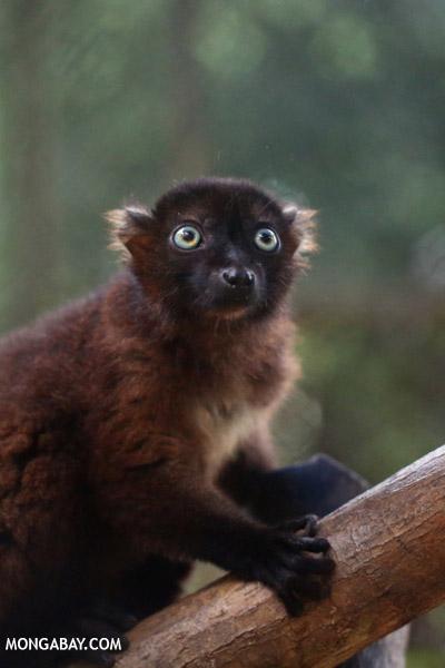 Female blue-eyed black lemur (Eulemur flavifrons)
