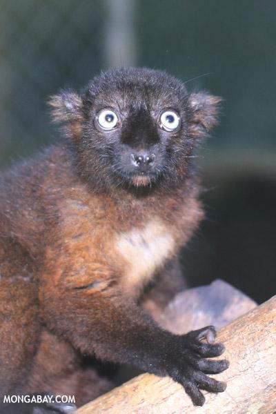 Female blue-eyed black lemur