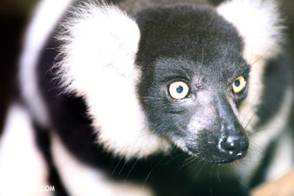 White-ruffed lemur