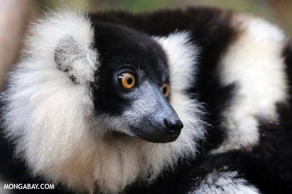 Black-and-white Varecia lemur