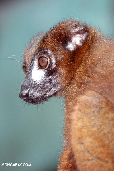 Male Red-bellied Lemur (Eulemur rubriventer)