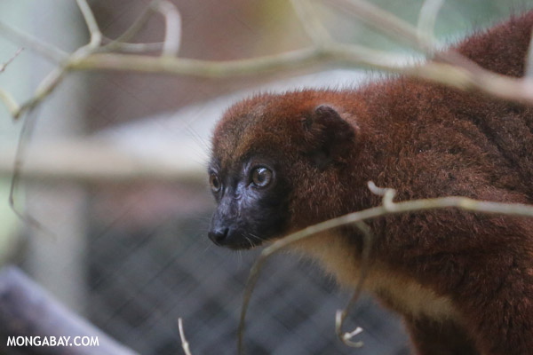 Female Red-bellied Lemur (Eulemur rubriventer)