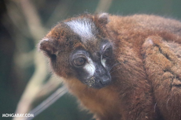 Male Red-bellied Lemur (Eulemur rubriventer)
