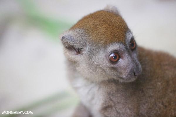 Eastern gentle lemur (Hapalemur griseus)
