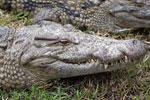Madagascar crocodile [madagascar_0006]