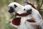Coquerel's Sifaka (Propithecus coquereli) with baby [madagascar_0037]