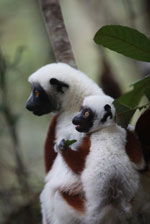 Mother Coquerel's Sifaka (Propithecus coquereli) with baby [madagascar_0063]