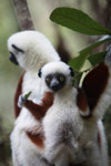 Mother Coquerel's Sifaka (Propithecus coquereli) with baby [madagascar_0065]