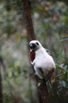 Coquerel's Sifaka (Propithecus coquereli) in Madagascar [madagascar_0086]