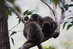 Group of common brown lemurs (Eulemur fulvus) huddled in the forest canopy [madagascar_0090]