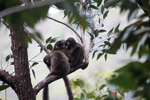 Group of common brown lemurs (Eulemur fulvus) huddled in the forest canopy [madagascar_0091]