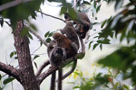 Common brown lemurs (Eulemur fulvus)