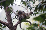 Common brown lemurs (Eulemur fulvus) [madagascar_0119]