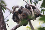 Group of common brown lemurs (Eulemur fulvus) huddled in the forest canopy [madagascar_0124]