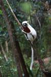 Coquerel's Sifaka (Propithecus coquereli) in Madagascar [madagascar_0131]