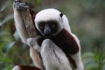 Coquerel's Sifaka (Propithecus coquereli) in Madagascar [madagascar_0138]