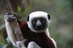Coquerel's Sifaka (Propithecus coquereli) in Madagascar [madagascar_0143]