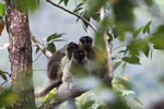 Common brown lemurs (Eulemur fulvus) [madagascar_0158]
