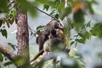 Common brown lemurs (Eulemur fulvus) [madagascar_0161]