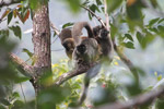 Common brown lemurs (Eulemur fulvus) [madagascar_0164]