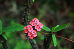 Crown of Thorns flower (Euphorbia milii)