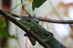 Oustalet's Chameleon (Furcifer oustaleti) [green color]