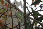 Oustalet's Chameleon (Furcifer oustaleti) [green color] [madagascar_0184]