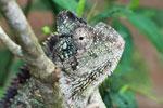 Oustalet's Chameleon (Furcifer oustaleti) [madagascar_0190]