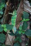 Panther chameleon (Furcifer pardalis) [madagascar_0198]