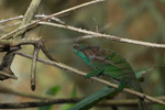 O'Shaughnessy's Chameleon (Calumma oshaughnessyi) [madagascar_0202]