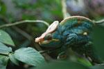 Parson's chameleon (Calumma parsonii) [yellow and orange] [madagascar_0230]