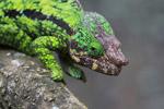 Calumma globifer chameleon (male) [madagascar_0243]