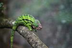 Calumma globifer chameleon (male) [madagascar_0244]