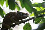 Giant male Parson's chameleon (Calumma parsonii) [yellow and orange]