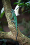Male panther chameleon (Furcifer pardalis) [madagascar_0264]