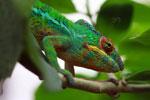 Male panther chameleon (Furcifer pardalis) [madagascar_0270]