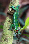 Male panther chameleon (Furcifer pardalis) [madagascar_0282]