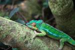 Male panther chameleon (Furcifer pardalis) [madagascar_0285]